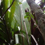 Marojejya leaf.JPG